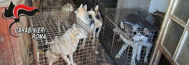 Roma, scoperto allevamento abusivo di Cani Husky, salvati 110 animali e una denuncia