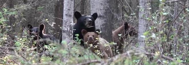 Mamma orso attacca un fotografo per proteggere i cuccioli