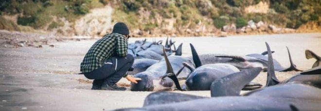 Balene, strage in Nuova Zelanda: più di cento esemplari spiaggiati. Molti già morti