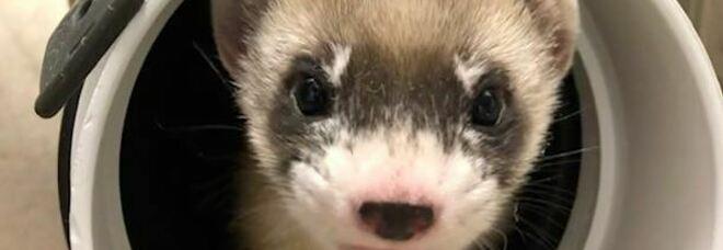 Il furetto Elizabeth Ann, è il primo animale americano in via d'estinzione ad essere clonato