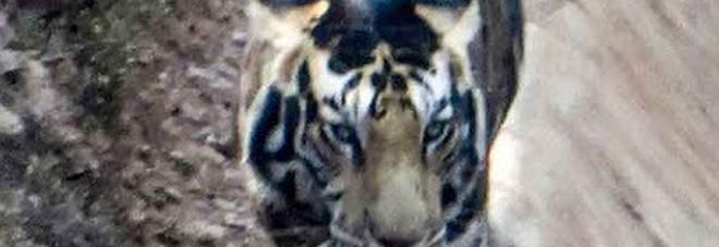 Catturata l'immagine di una tigre nera, uno degli ultimi esemplari esistenti - FOTO