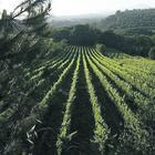 Mosca della frutta, Ue si mobilita: a rischio i raccolti della Campania
