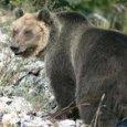 L'orso M49, scappato dal Centro Casteller