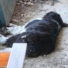 In giardino un cane morto, un altro incatenato: napoletano denunciato