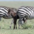 In Kenya è nata la prima zebra a pois, avvistato esemplare con i puntini al posto delle strisce (foto Facebook @frankliuphotography @ Maasai Mara National Reserve)