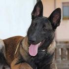Sparita Raja, il cane eroe che salvò i fratellini sotto le macerie a Ischia
