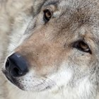 Strage di lupi nel Parco d'Abruzzo: è mistero sulle cause