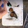 Una farfalla torna a volare grazie a un trapianto d'ala | Video