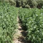 Piantagione di cannabis scoperta all'interno del Parco del Cilento