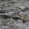 Le alte temperature dell'acqua causano la morte di una massiccia quantità di salmoni in Alaska