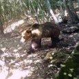 L'orso M49 in fuga, immortalato da una fototrappola: è nei boschi della Marzola