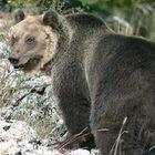L'orso M49 avvistato nella gola Bletterbach