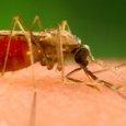 Le zanzare fanno 725mila vittime l'anno, è l'animale più pericoloso della Terra