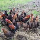 Galline si coalizzano e uccidono una volpe che si era introdotta nel loro pollaio