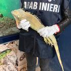 Napoli, trova iguana ferita e la porta dai carabinieri: affidata allo zoo