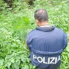 Piantagione di marijuana in mezzo a bosco sul Carso