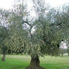 Cade mentre raccoglie le olive,  agricoltore muore a 80 anni