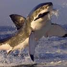 Enorme squalo bianco cerca di azzannare la telecamera che lo sta filmando