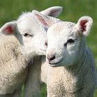 Napoli, la svolta di Pasqua: niente agnelli nelle macellerie