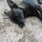 Cani picchiati e avvelenati: choc nel Beneventano