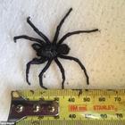 Sotto il letto trova il ragno più velenoso del mondo