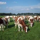Mucca pazza, nuovo caso di contagio in Scozia