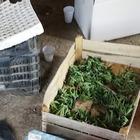 Scoperta piantagione industriale di marjuana dietro alla cattedrale