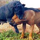 Anziana dilaniata dai pitbull: orrore sul Litorale Domitio