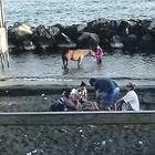 Spiagge come pascoli nel Napoletano: anche i cavalli in acqua tra i bagnanti