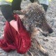 Il lupo salvato dalle acque ghiacciate (foto Erakogu)