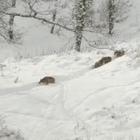 Irpinia nel gelo, branco di lupi  a caccia di cibo nelle campagne