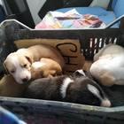«Quel sacco si muove...», salvati nove cuccioli gettati nell'immondizia