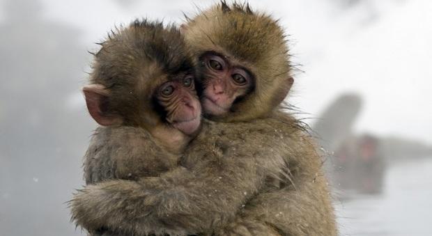 Macachi hanno 'geni alieni', zoo giapponese li abbatte